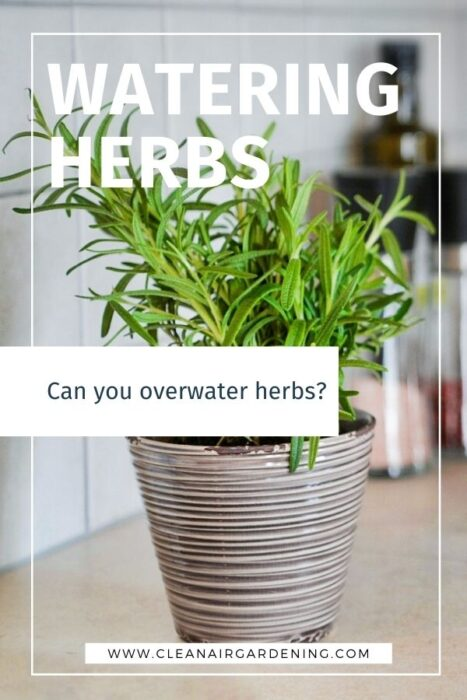potted rosemary with text overlay watering herbs can you overwater herbs