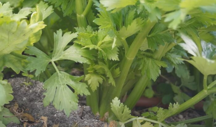 celery plant stalk and. leaves