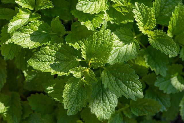 lemon balm herb gardening shade