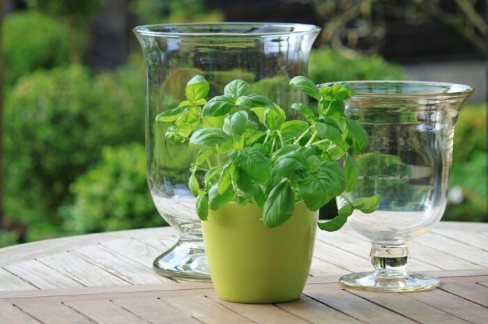 basil growing in container