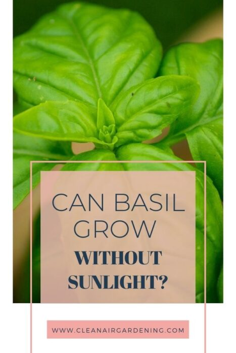 basil with text overlay can basil grow without sunlight