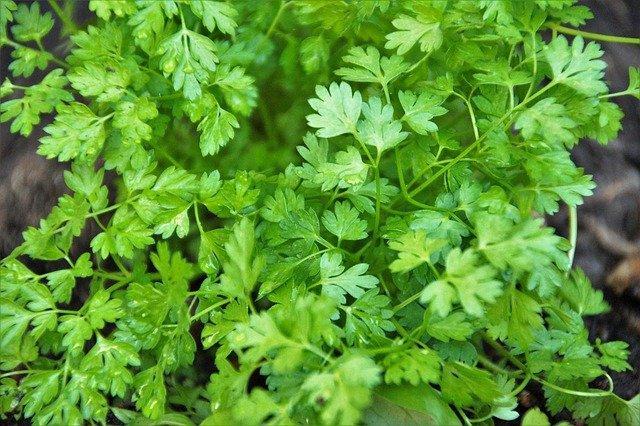 chervil shade herb gardening