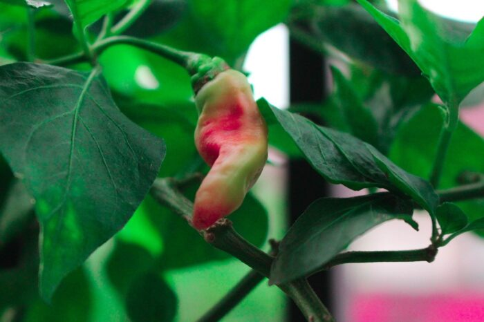 hot pepper plant growing