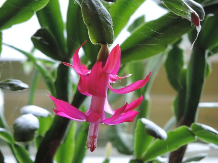 christmas cactus houseplant growing and flowering