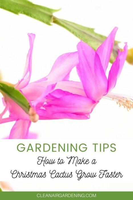 pink Christmas cactus flower with text overlay gardening tips how to make Christmas cactus grow faster