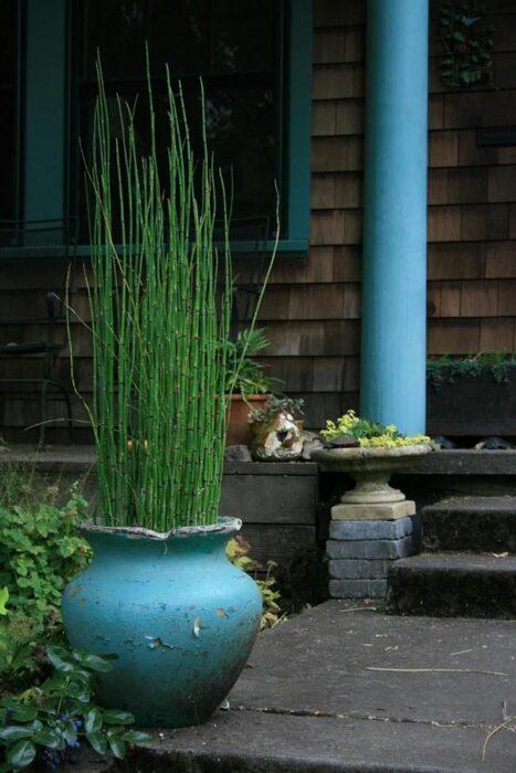 Horsetail reed equisetum