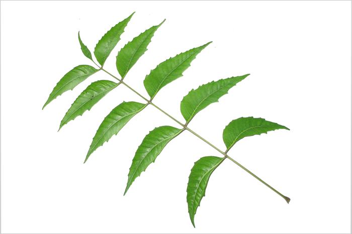 neem tree leaf
