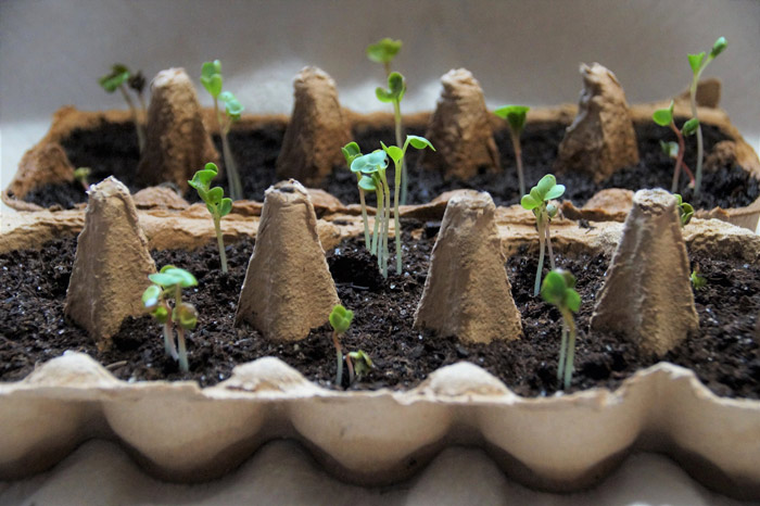 learn recycling old egg cartons as seed starters and save resources in 2020