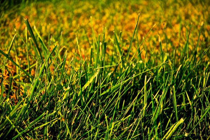 new healthy turf green color lawn from seed