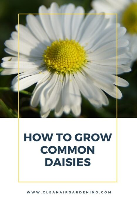 daisies in garden with text overlay how to grow common daisies