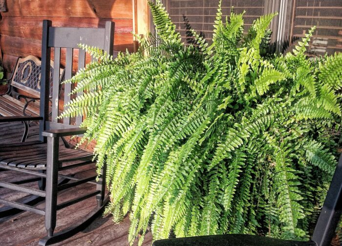 large fern on a patio