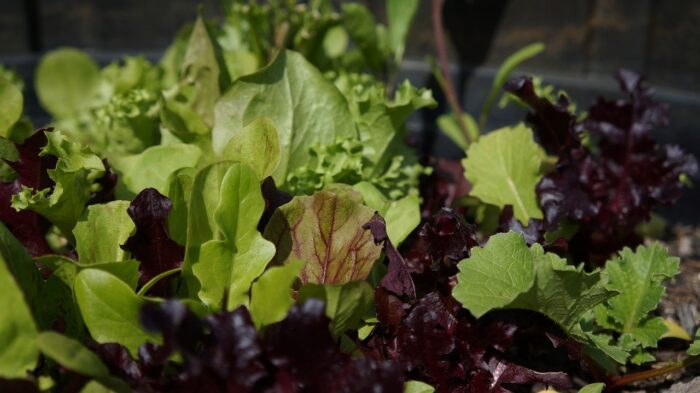 a mix of varieties of lettuce growing