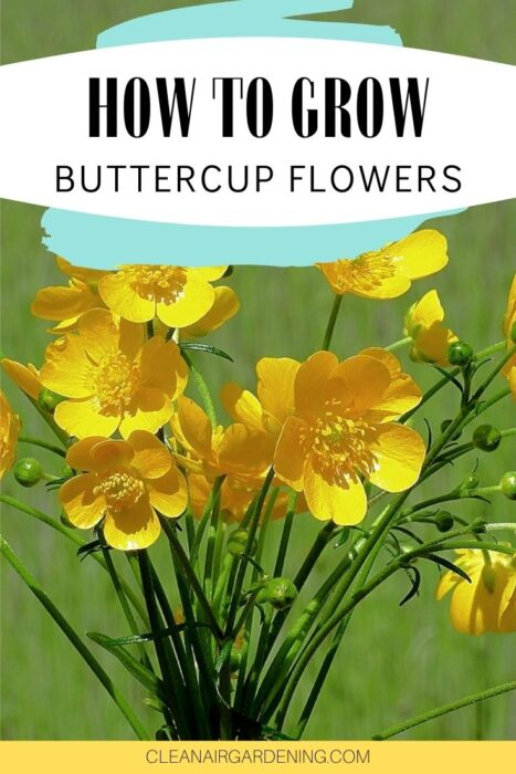 buttercup flowers with text overlay how to grow buttercup flowers
