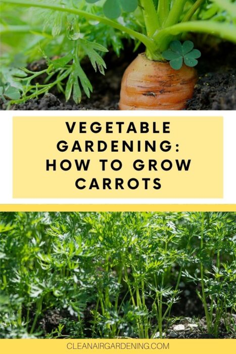 carrots growing in garden and ready to harvest with text overlay vegetable gardening how to grow carrots
