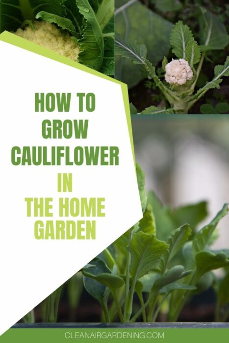 cauliflower seedlings and plants growing in garden with text overlay how to grow cauliflower in the home garden
