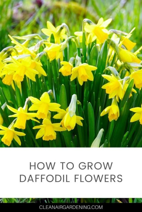 spring daffodils with text overlay how to grow daffodils