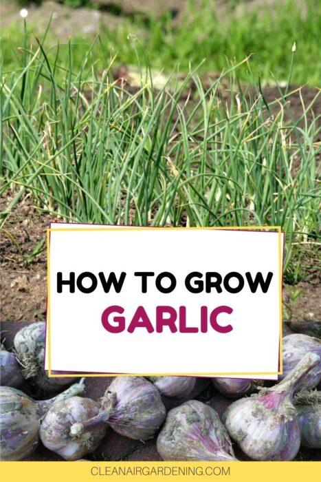 garlic plants in garden and harvested garlic with text overlay how to grow garlic
