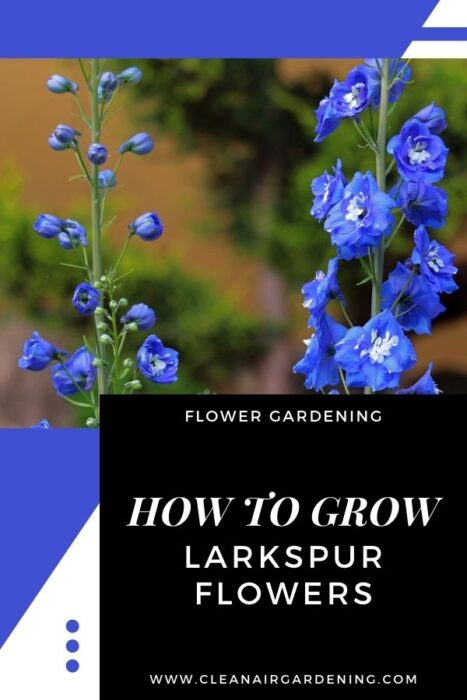 blue larkspur flowers with text overlay flower gardening how to grow larkspur flowers
