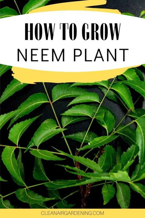 harvested neem with text overlay how to grow neem plant