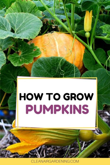 pumpkin growing in garden and pumpkin blossom with text overlay how to grow pumpkins
