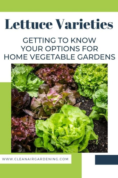 salad growing in garden with text overlay lettuce varieties getting to know your options for home vegetable gardens
