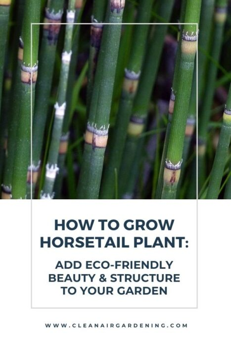 horsetail with text overlay how to grow horsetail plant add eco-friendly beauty and structure to your garden