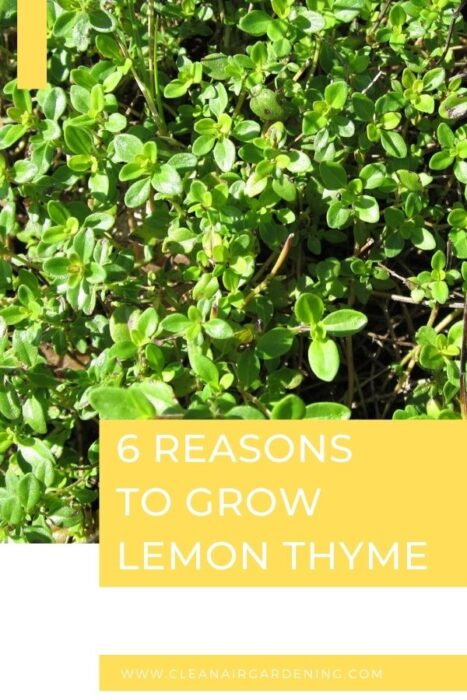 lemon thyme in garden with text overlay six reasons to grow lemon thyme