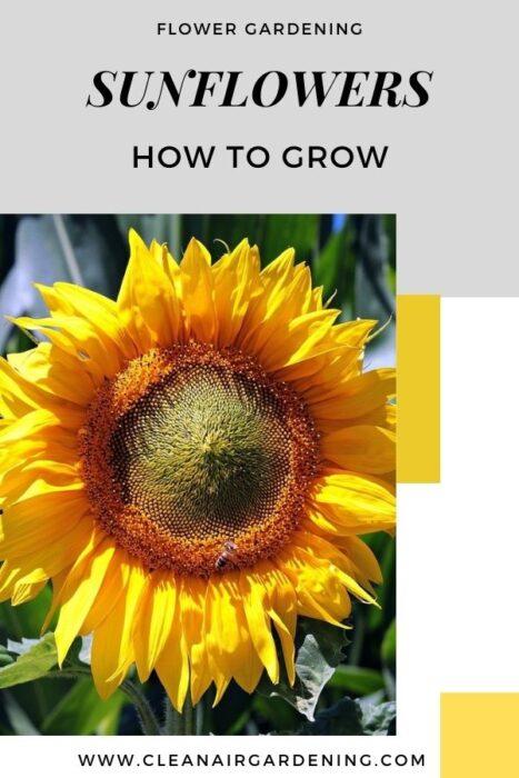 sunflower in garden with text overlay flower gardening sunflowers how to grow