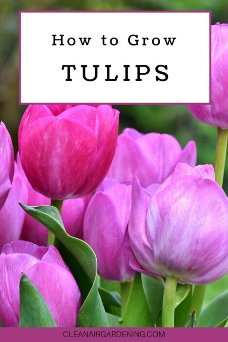 pink tulips with text overlay how to grow tulips