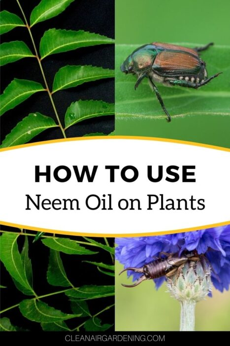neem plant japanese beetle and earwig with text overlay how to use neem oil on plants