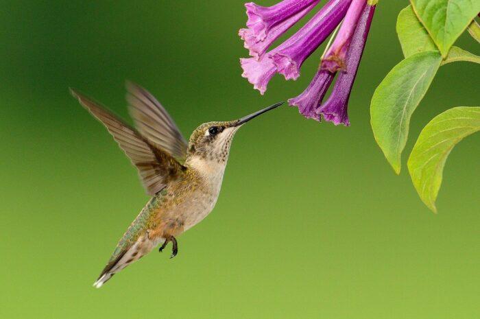 hummingbird flying feeding