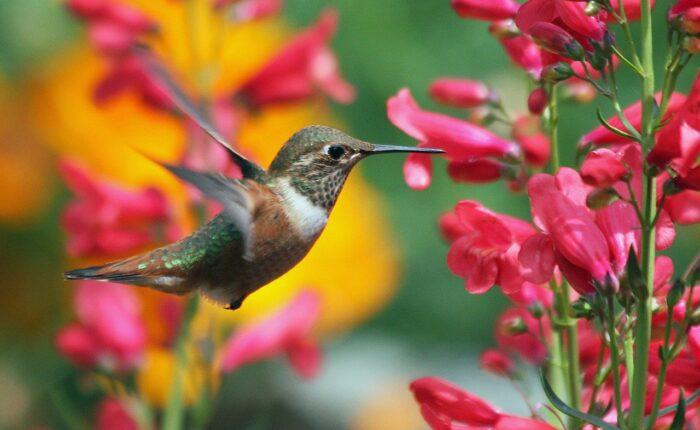 hummingbird feeding flower