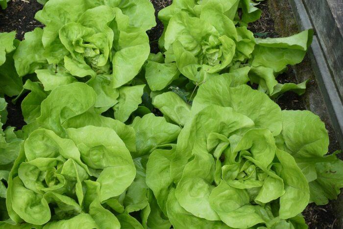 lettuce growing in a vegetable garden