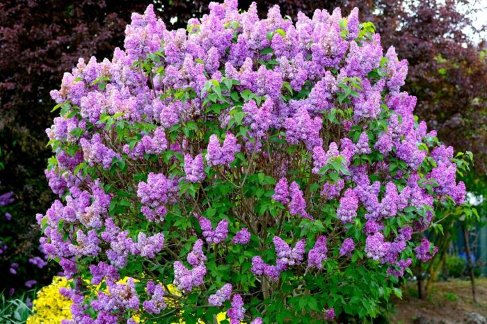 flowering lilac bush shrub