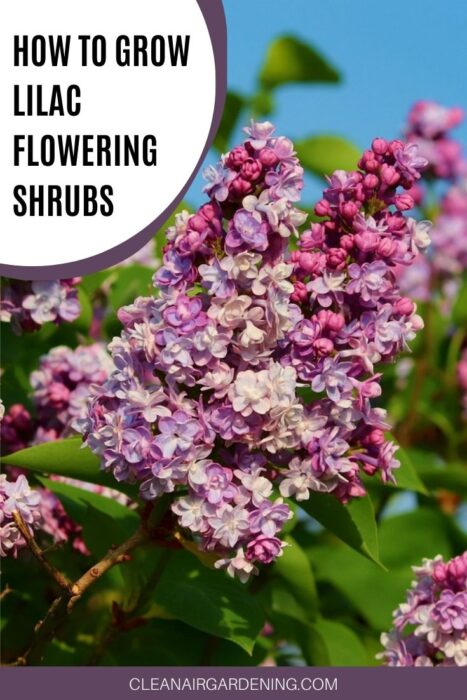 lilac shrub with text overlay how to grow lilac flower shrubs