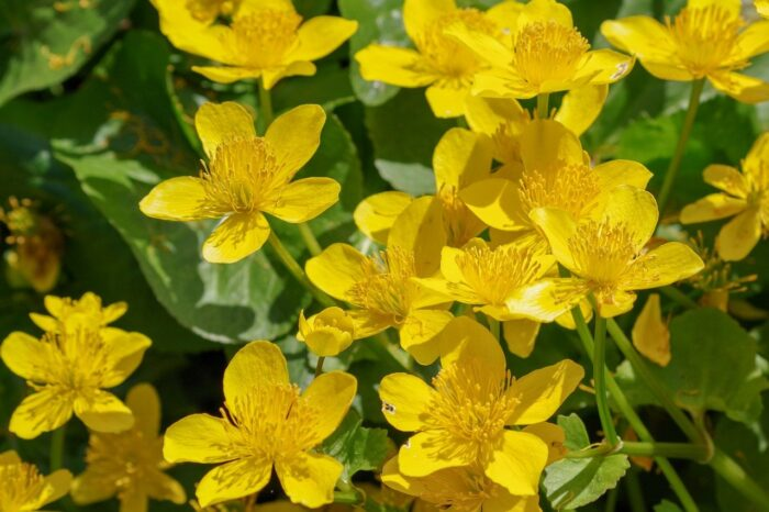 buttercup flowers blooming