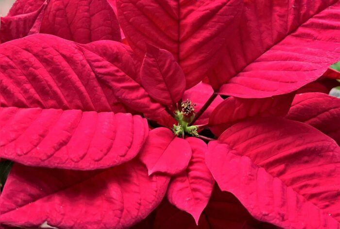 poinsettia bloom