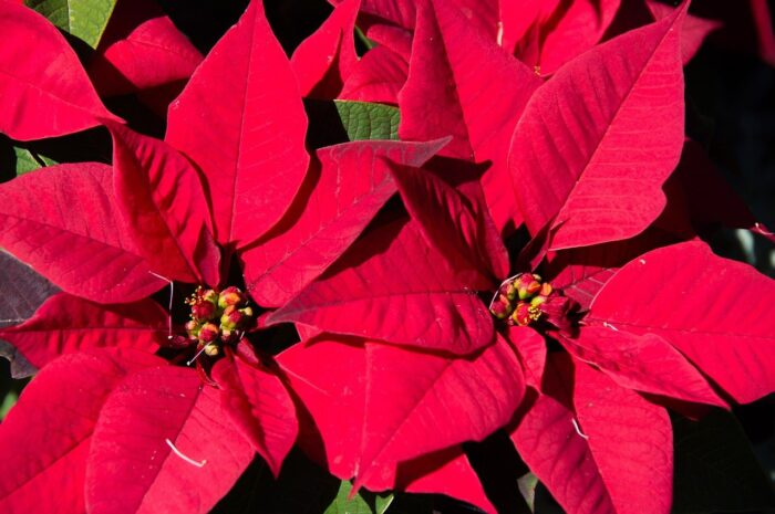 poinsettia plant blooming