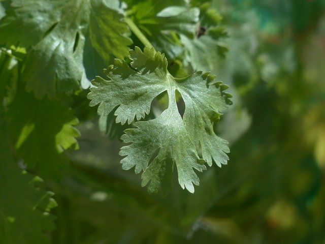 cilantro shade herb gardening