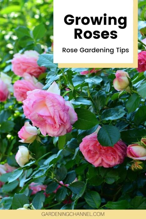 rose bush with text overlay growing roses rose gardening tips