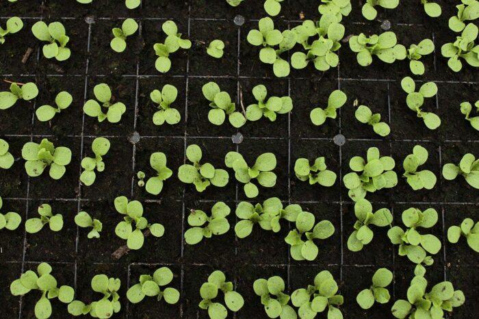 lettuce seedlings coming up