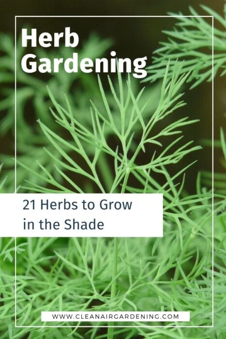 dill with text overlay herb gardening twenty one herbs to grow in the shade