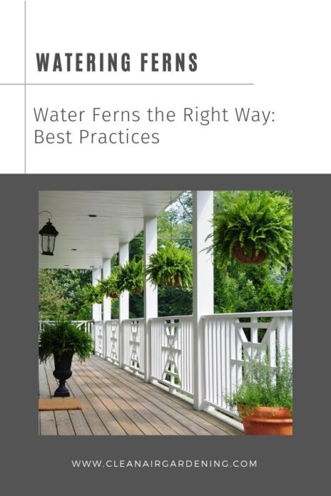 ferns on front porch with text overlay watering ferns water ferns the right way best practices