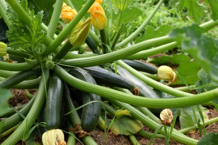 zucchini plant growing with blooms
